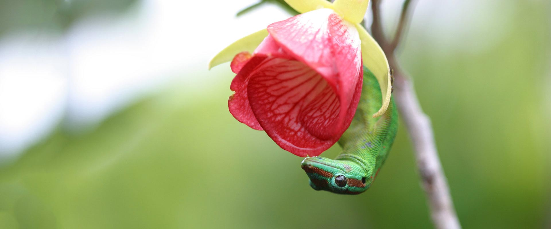 Male Phelsuma and Trochetia - Ebony Forest - Mauritius