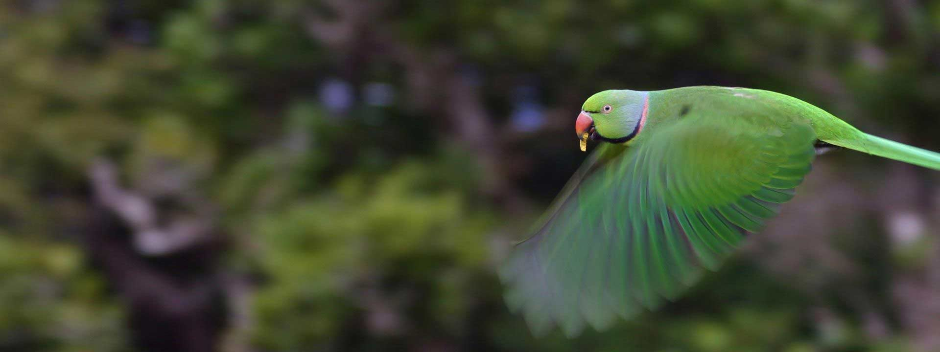 Bird Watching Echo Parakeet Flight - Ebony Forest - Mauritius