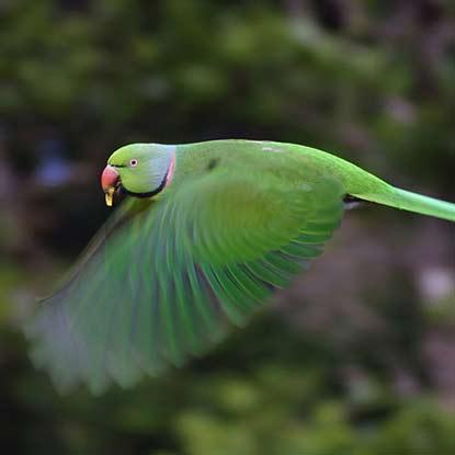 Echo Parakeet - Ebony Forest - Mauritius