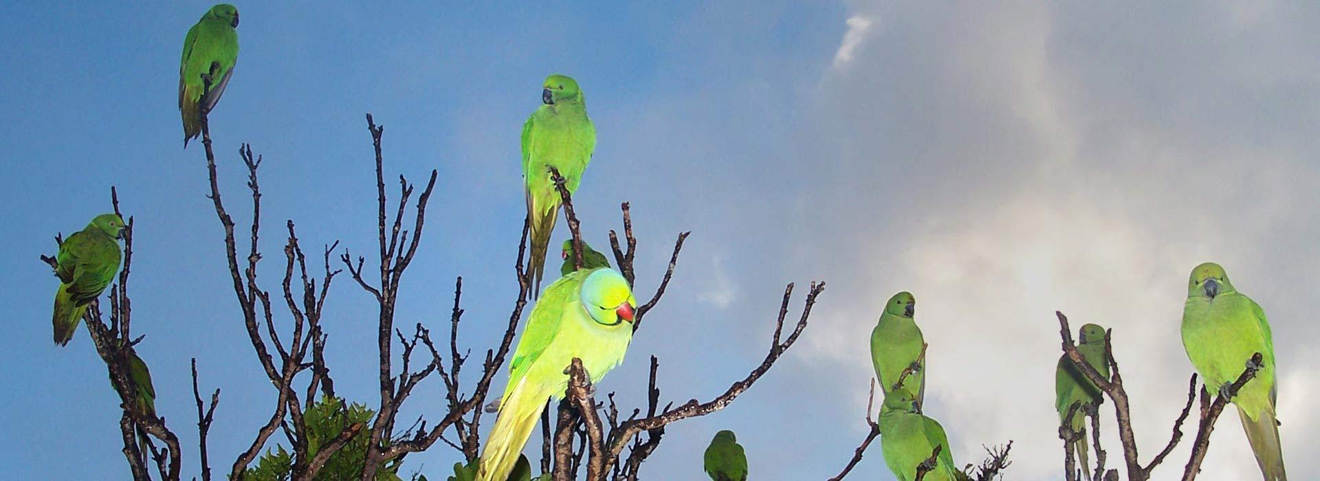 Echo Parakeets - Ebony Forest - Mauritius