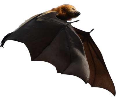Bat - Ebony Forest - Mauritius