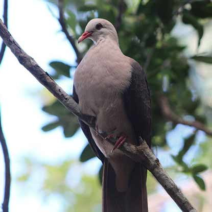 Pink Pigeon - Ebony Forest - Mauritius